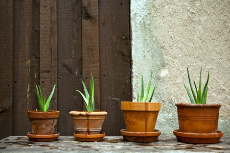aloe barbadensis: healthy aloe vera plant in the garden  Stock Photo