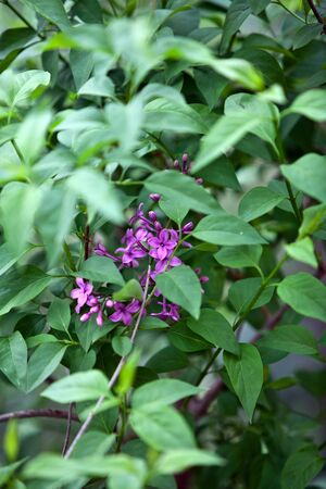 syringa: beautiful purple lilac flowers in spring outdoor