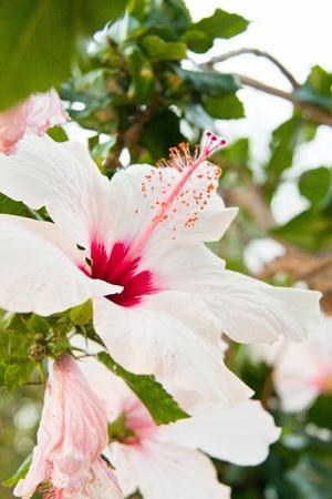 malvaceae: beautiful tropical white hibiscus Malvaceae flower in summer