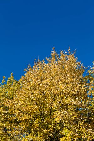 beautiful blue sky and yellow tree in autumn sunlight background Stock Photo - 16836453