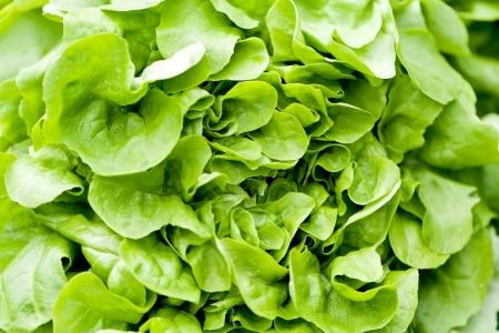 fresh green salad lettuce closeup macro outdoor on market photo