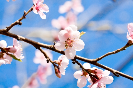 blooming cherry blossom and blue sky in spring background photo