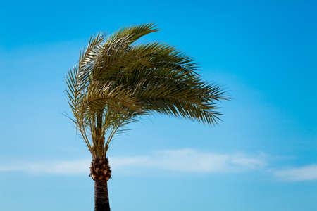 palmtree: single tall green palmtree on blue sky background wallpaper nature
