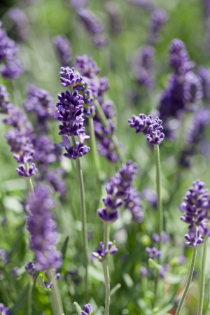 fresh aromatic lavender in basket macro outdoor on market summer  photo