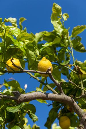 lemon tree: limones frescos en el �rbol de lim�n azul cielo, naturaleza, fondo de fruta de verano Foto de archivo