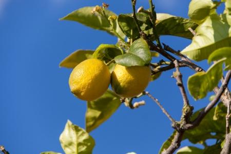 lemon tree: limones frescos en el �rbol de lim�n cielo azul naturaleza verano fruta