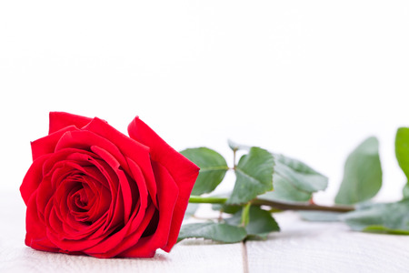 single red rose: beautiful red rose on white bachground decoration