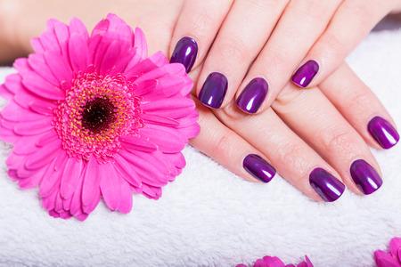 Mujer con hermosas uñas cuidadas cubiertos con modernos esmalte de uñas de color púrpura, esmalte o laca mostrando sus dedos junto con una margarita de gerbera rosa