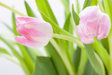 dainty: Symbolic seasonal spring background of dainty pink tulips with fresh green leaves and copyspace with focus to the flowers