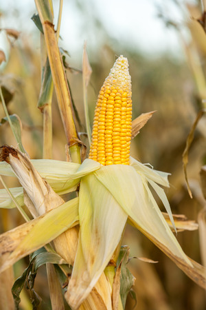 expose: Corn on the cob in an agricultural field with the covering peeled back to expose the ripe yellow kernels ready for harvesting as a staple human food or fodder for livestock Stock Photo