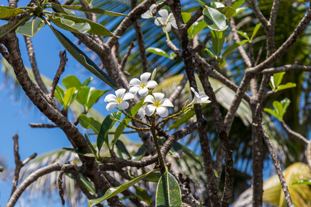 Pretty delicate cream colored frangipani flowers blooming on the tree amongst fresh spring foliage against a clear blue sky photo