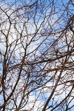 Tracery of leafless branches on a deciduous tree in winter or early spring against a cloudy sunny blue sky