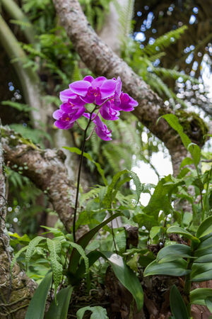 epiphytic: Spike of beautiful exotic purple Phalaenopsis orchids growing outdoors in a garden in Bali