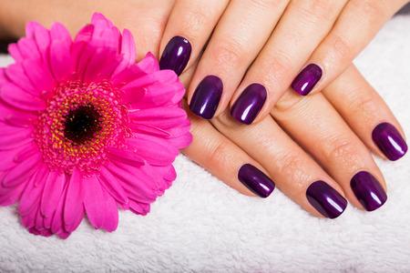 Mujer con hermosas uñas cuidadas cubiertos con modernos esmalte de uñas de color púrpura, esmalte o laca mostrando sus dedos junto con una margarita de gerbera rosa Foto de archivo