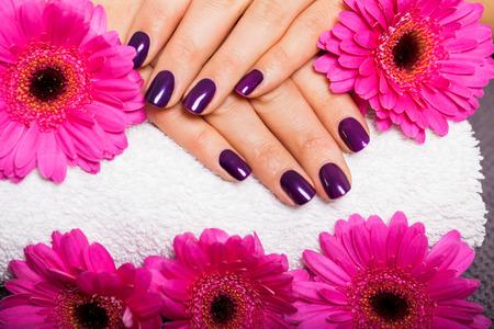 Frau mit schönen, gepflegten Nägeln mit modernen lila Nagellack, Emaille oder Lack zeigt ihre Finger neben einem rosa Gerbera Daisy bedeckt Standard-Bild - 29487910