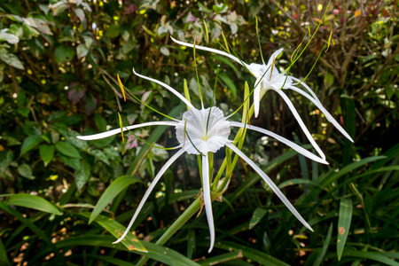 Beautiful white spider lily, Hymenocallis littoralis, with its distinctive long spindly delicate petals growing in a lush garden in Bali photo