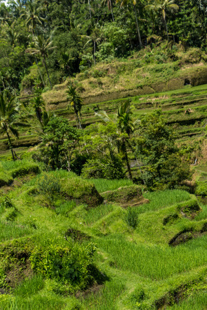 Lush green terraced farmland in Bali on a steep hillside with rice paddies and palm trees in a beautiful scenic landscape photo
