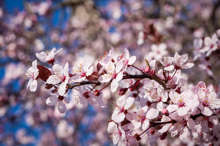 Beautiful pink spring blossom on the branch of a sakura, or Japanese Flowering Cherry tree, against a blue sky, symbolic of the freshness of spring photo