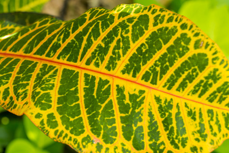 showy: Colorful pattern of a variegated yellow and green Croton leaf , cultivated in gardens and as a houseplant for its showy leaves