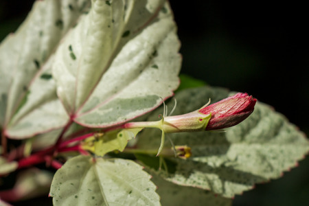 unfurl: Close up of a single red hibiscus bud on a shrub just beginning to unfurl its petals which are edible and often dried or made into a herbal tisane
