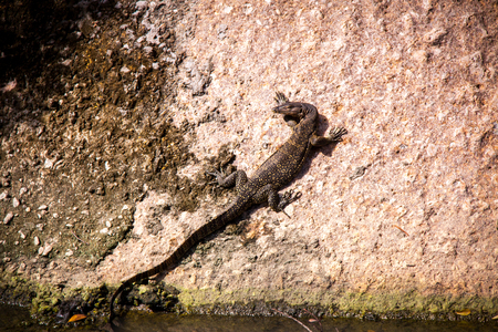 sunning: Side view of a small monitor lizard sunning on a ledge to maintain its body temperature Stock Photo