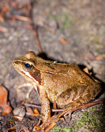 web footed: Side view of an adult Common frog, Rana temporaria, on the ground amongst twigs and dead leaves Stock Photo
