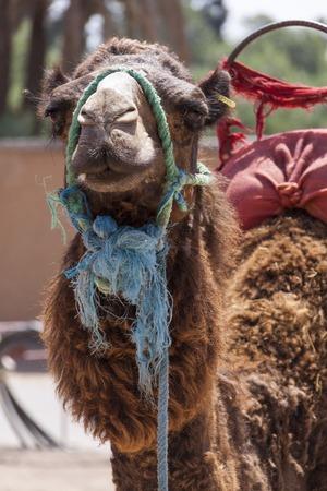 pack animal: Camel in Marrakesch, Marocco indossa un harnes e sella per il trasporto e l'uso come un animale da soma per trasportare carichi Archivio Fotografico