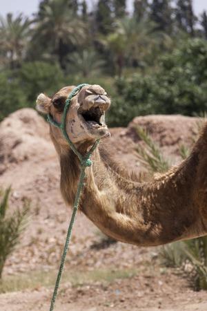 pack animal: Cammello a Marrakesch, Marocco indossa un harnes e sella per il trasporto e l'uso come un animale da soma per trasportare carichi