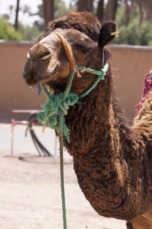 saddle camel: Camel in Marrakesch, Morocco wearing a harnes and saddle for transportation and use as a pack animal to carry loads