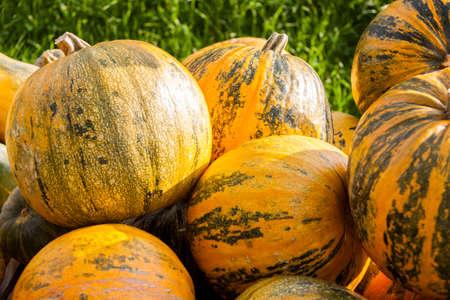 cucurbita: Oil Lady Godiva cucurbita pumpkin pumpkins from autumn harvest on a market