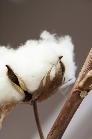 plant gossypium: Fresco capsule di cotone bianchi sulla pianta pronte per la raccolta per i loro soffici fibre che formano una capsula protettiva attorno ai ricchi semi oleosi utilizzati per la produzione di tessuti