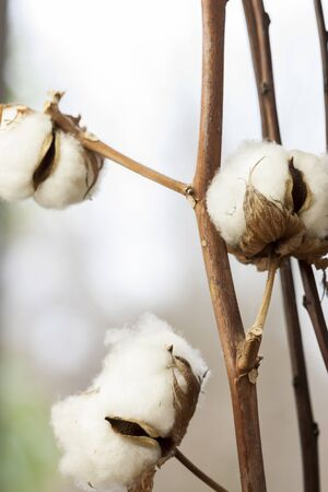plant gossypium: Fresh white cotton bolls on the plant ready for harvesting for their fluffy fibers forming a protective capsule around the oil rich seeds used to produce textiles Stock Photo