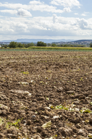 potato tree: Harvested potato field with rotovated or plowed earth and the odd remaining potato with green crops in visible in the distance on agricultural landscape