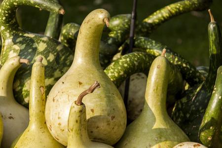 cucurbita: Kalebassenkürbirs Cucurbita pumpkin pumpkins from autumn harvest on a market