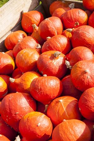 cucurbita: red roter Hokkaido cucurbita pumpkin pumpkins from autumn harvest on a market