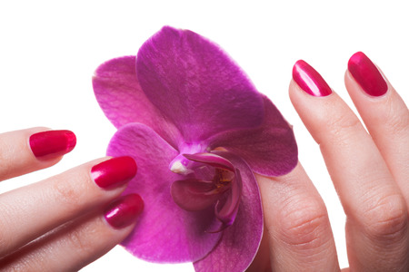 Manicured nails painted a deep red caress dark pink flower pedals against white background Stock Photo