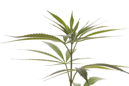 Close up Fresh Cannabis or Marijuana Plant Leaves for Psychoactive Drug or Medicine, Isolated on White Background