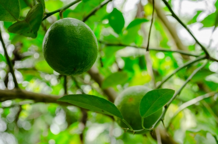 Green lemons on tree in garden photo