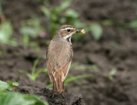 Bluethroat (female) with ant eggs in its beak
