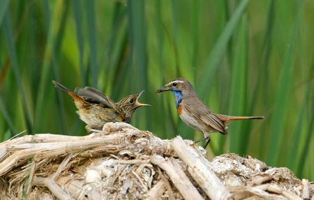The bluethroat feeding the nestling by the ant