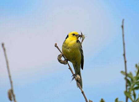 Yellow Wagtail with worm in its beak on a blue background photo