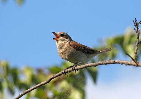 tweet: Singing bird (red-backed shrike, lanius collurio, female) sitting on a branch