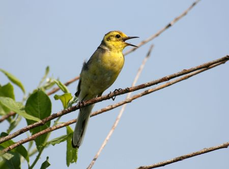 Yellow wagtail warble on a tree twig photo