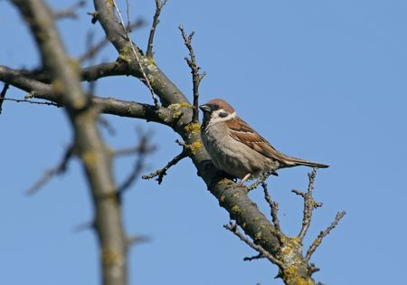 passer by:  sparrow (passer domesticus) sitting on a branch Stock Photo