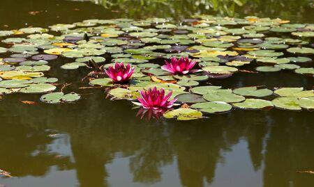 A pink water three nymphaea in a pond. Stock Photo - 3543033