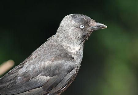 passerine: La Taccola (Corvus monedula), conosciuto anche come Taccola eurasiatica, Taccola europea, occidentale Taccola, o hanno semplicemente la Daw, � un dark-piumaggio degli uccelli passeriformi. Archivio Fotografico