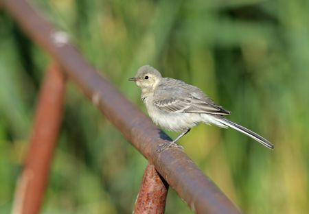 The White Wagtail (Motacilla alba) is a small passerine bird in the wagtail family Motacillidae photo