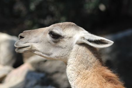 Portrait of a Guanaco. The guanaco (Lama guanicoe) is a camelid animal native to South America photo