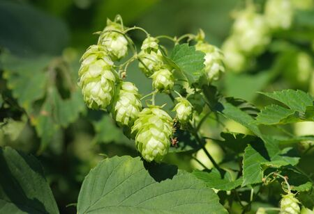 A detail view of some hop cones and the leaves of hop