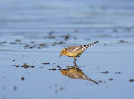 Yellow wagtail looking for food photo